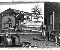 ******** Varie fasi nella produzione del tabacco, Virginia, USA, 1750.